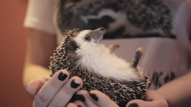 Woman holding hedgehog in hands and scratch it belly indoors