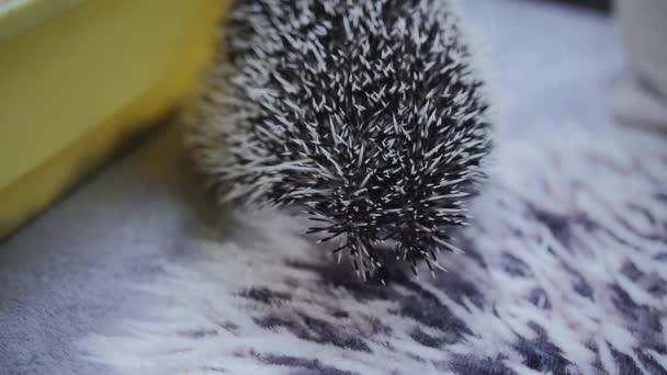 Cute pet hedgehog licks it nose looking around