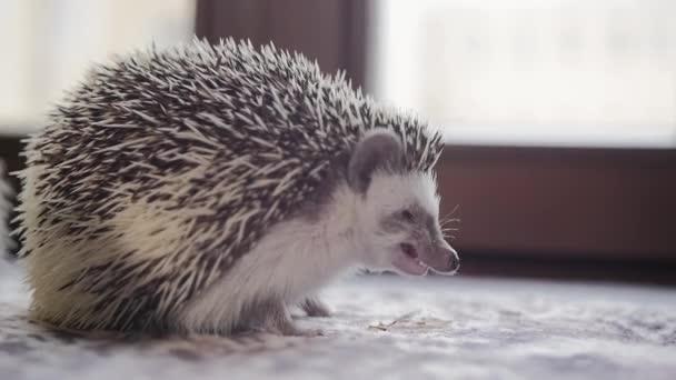 Little pet hedgehog eating cockroach sitting on window sill
