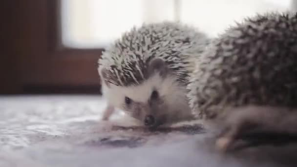 Couple of cute hedgehogs crawling on bright window sill