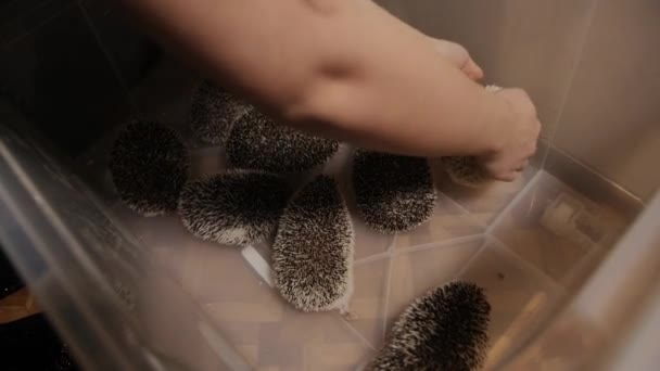 Woman hands puts domesticated cute hedgehog into plastic box to bunch of them