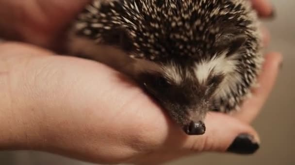 Female hands holding energetic hedgehog indoors