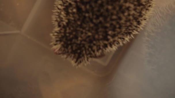 Kleiner domestizierter Igel sitzt in Plastikbox auf dem Fußboden in Wohnung
