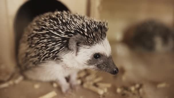 Cute pet domesticated hedgehog sitting near little house in cage