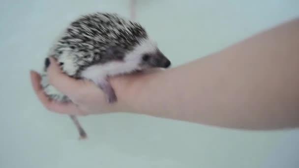 Cute pet domesticated hedgehog crawls on hand feom water in house bathtub