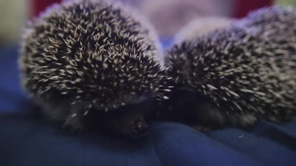 Couple of sweet pet hedgehog crawling on blue blanket in apartments