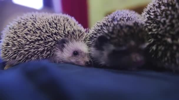 Couple of cute pet hedgehog sitting on blue blanket in apartments