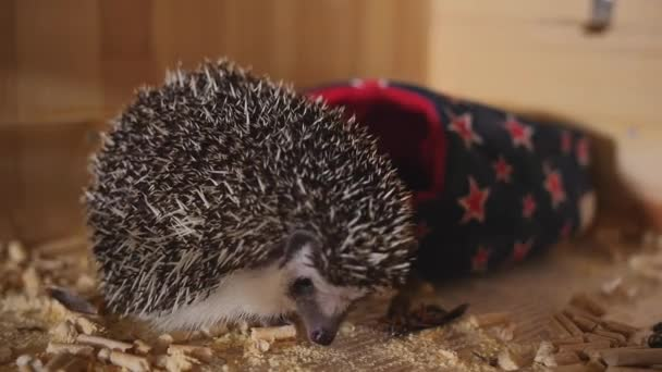 Little pet hedgehog eating cockroach sitting in wooden cage