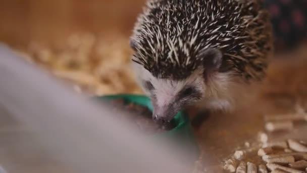 Cute pet hedgehog eating food sitting in wooden cage