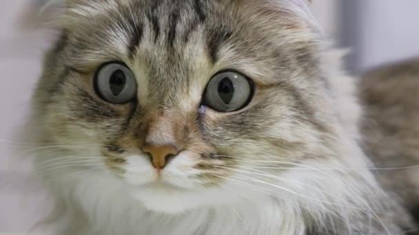 4k: zelené oči koťátko lovec. Detailní obličej. Makro
