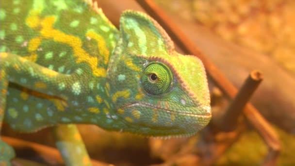 Chameleon se otočí do očí.
