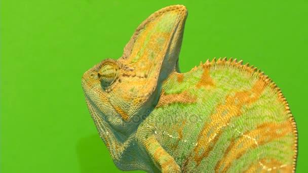 Chameleon na zeleném pozadí. 3 výstřely