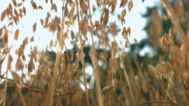 The growing oats are ripe. The smooth movement of the camera ( from right to left ) along the growing oats.