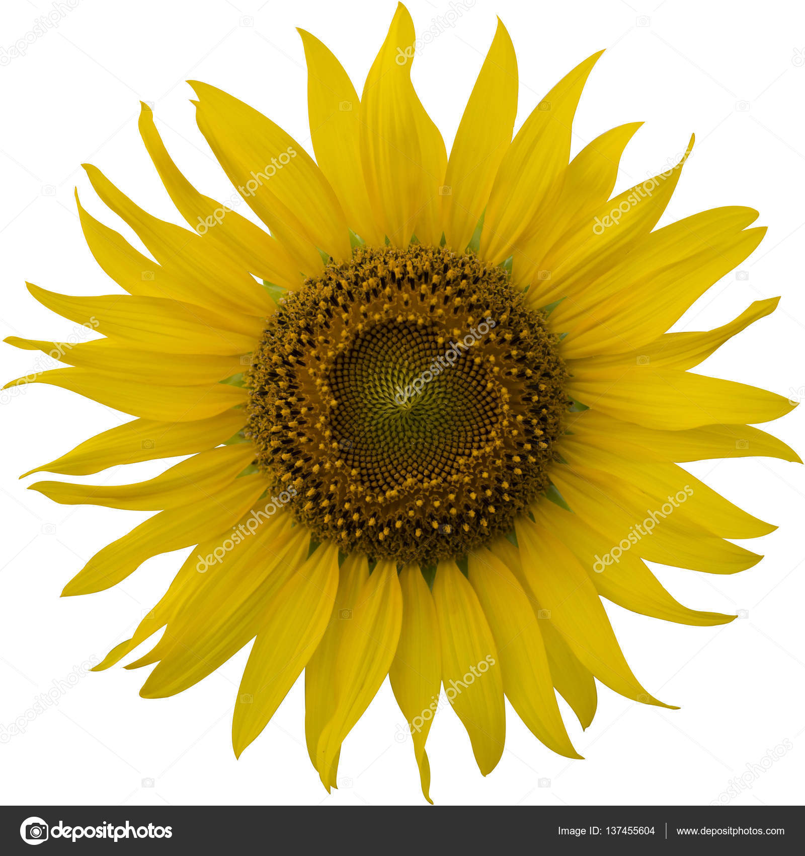 Healthy big sunflower heads in full bloom on a clear sunny ...