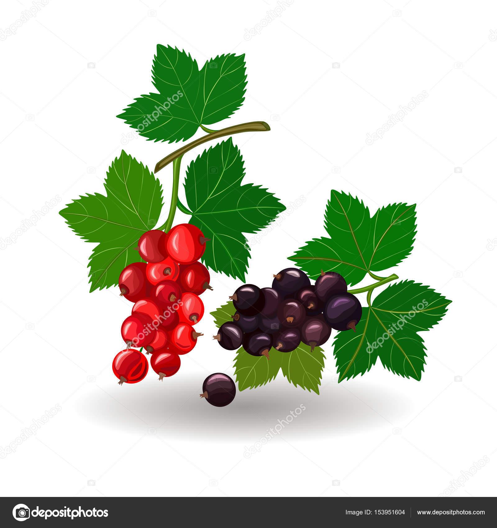 Schöne Vektor Illustration Zweige von roten und schwarzen ...