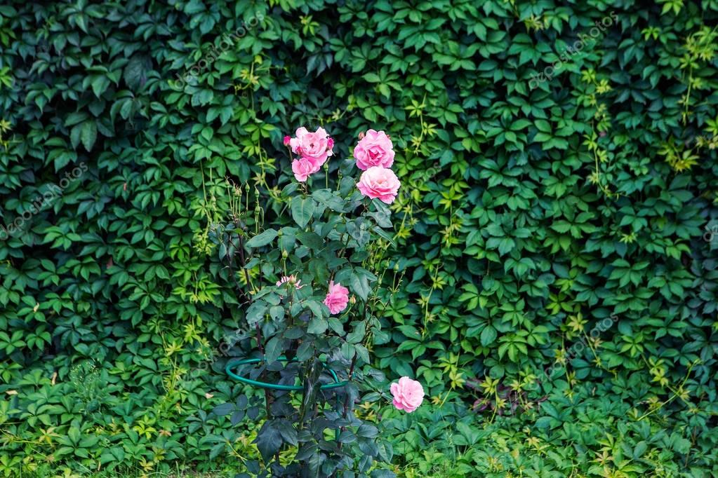 Garden texture. Roses on a green background. Growing shrubs. Decorative vines with leaves
