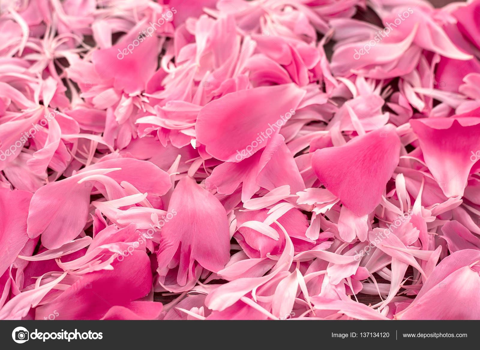 Petalos Flores Naturales Los Pétalos Suaves De Una Peonía Fondo