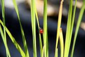 Makro / hmyz / Beruška se vplíží na závod
