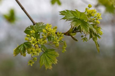 Spring / Blossoming tree branch