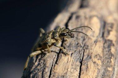 Agapanthia villosoviridescens. A beautiful Grey Longhorn beetle sits on gray wood.