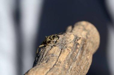 Beautiful Grey Longhorn beetle sits on gray wood.