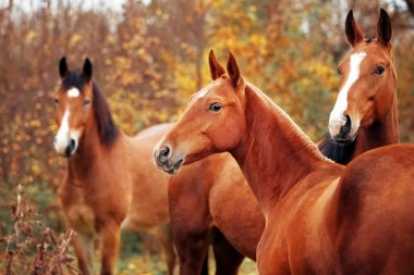 Trio of horses in the herd of horses