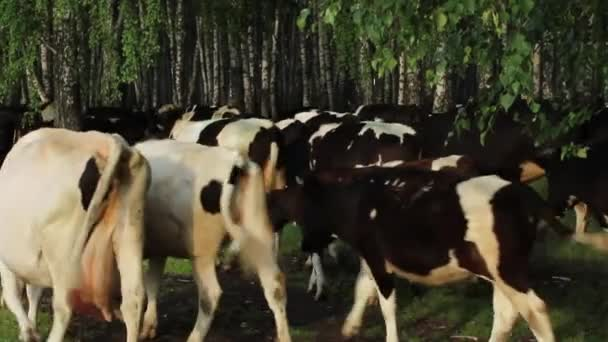 stádo krav z pastvin