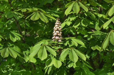 blooming flowers on the branches of chestnut, spring background