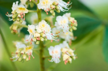 blossoming flowers of chestnut closeup, spring background