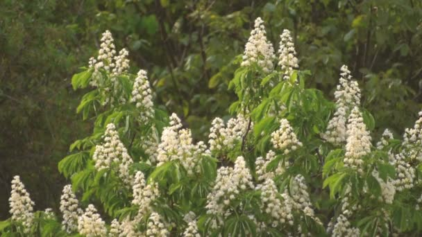Kvetoucí větve kaštanu. Castanea sativa