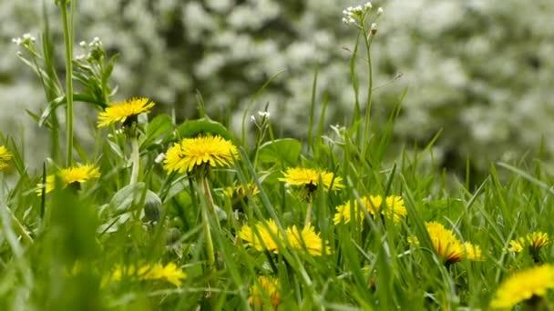 Közelkép a virágzó sárga pitypang virágot. Taraxacum officinale. tavasszal a kertben