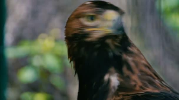 Der Adler sieht sich um. Close-up