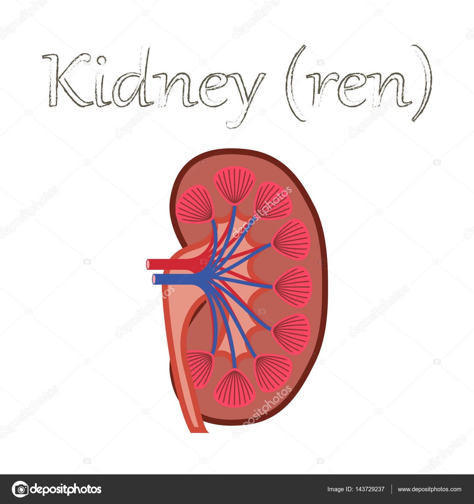 Organ des Menschen-Symbol in flachen Stil Niere — Stockvektor ...