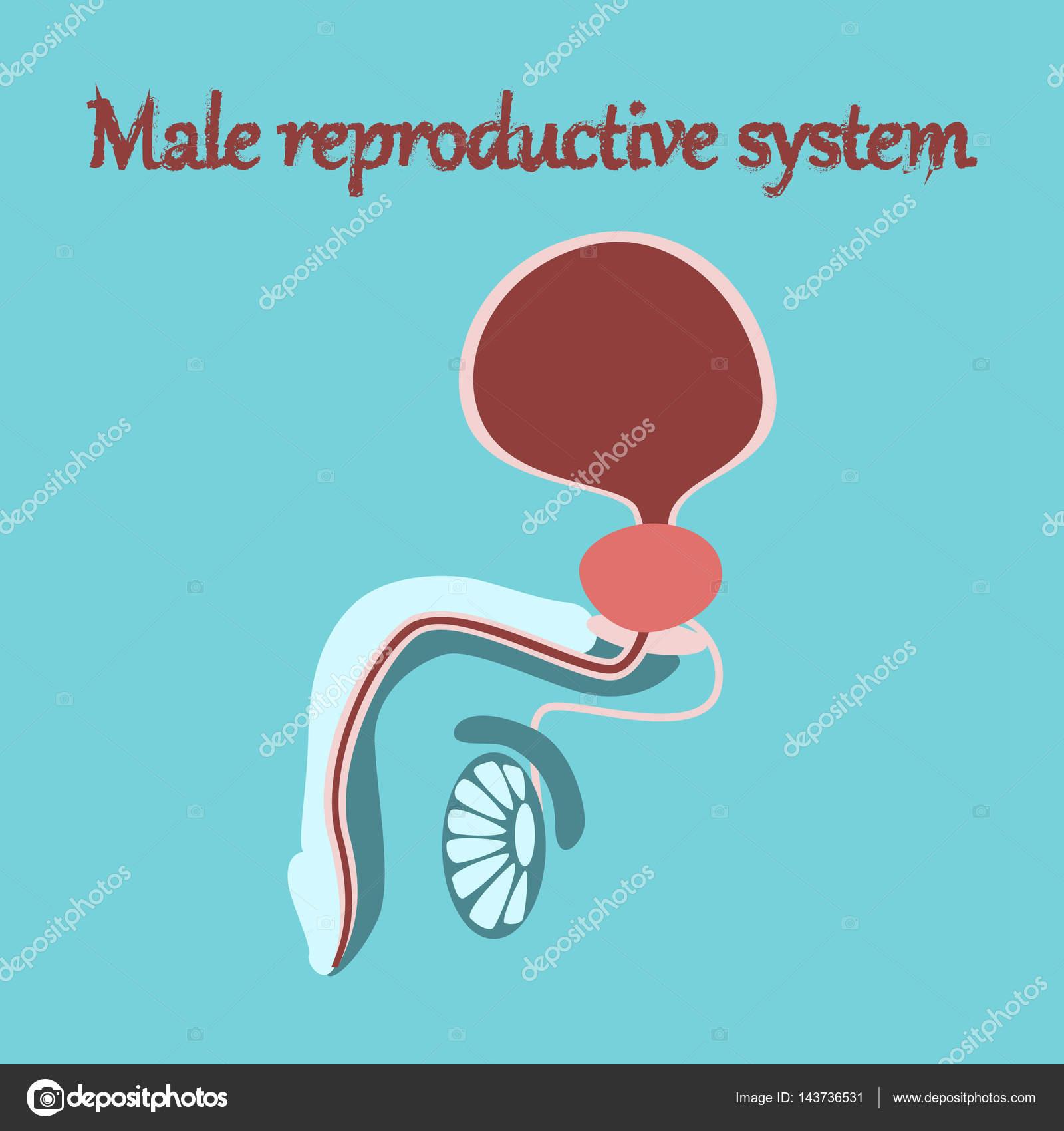 icono de órganos humanos en estilo plano sistema reproductor ...