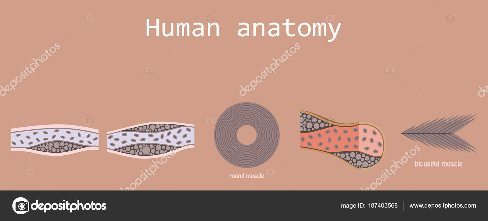Types of muscle tissue of human body diagram including cardiac types of muscle tissue of human body diagram including cardiac skeletal smooth with example of heart ccuart Images