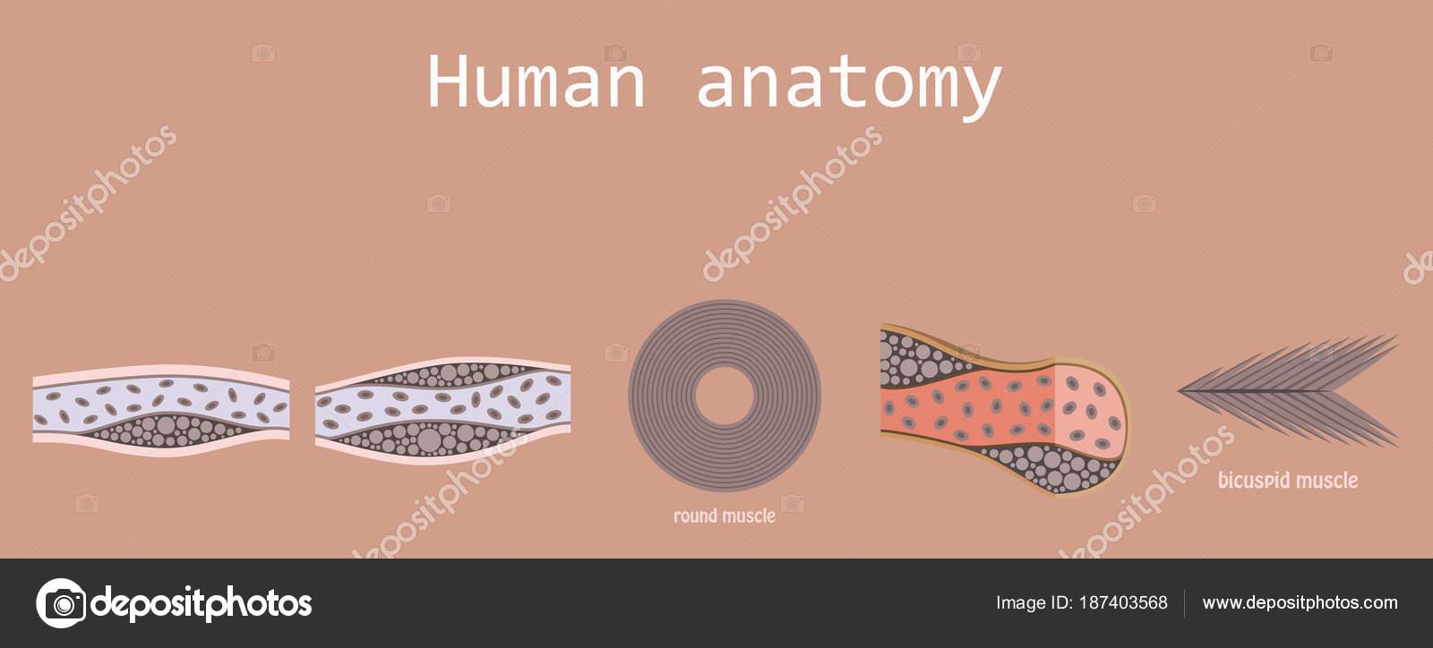 Tipos de músculo tejido de humano cuerpo diagrama incluyendo liso ...