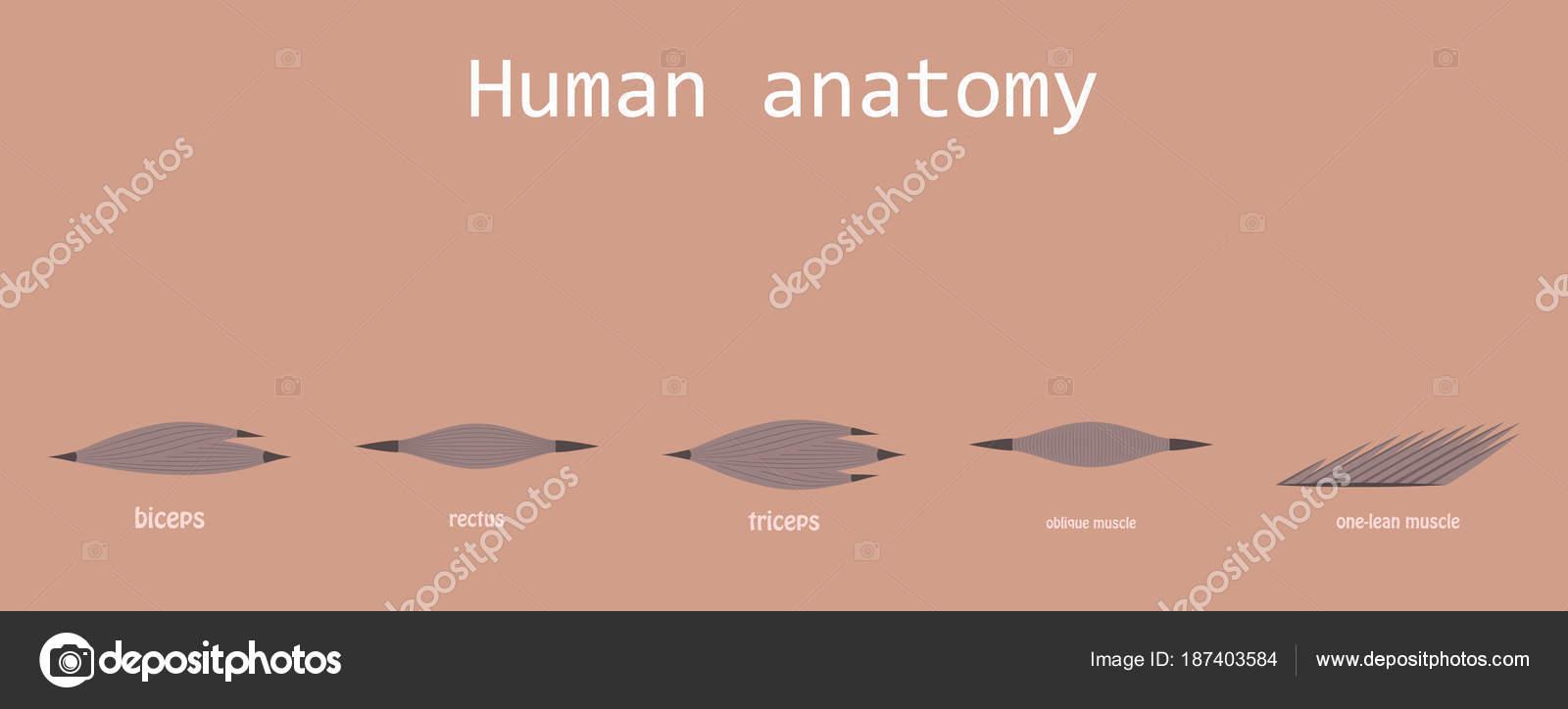 Arten von Muskel Gewebe des menschlichen Körpers Diagramm ...