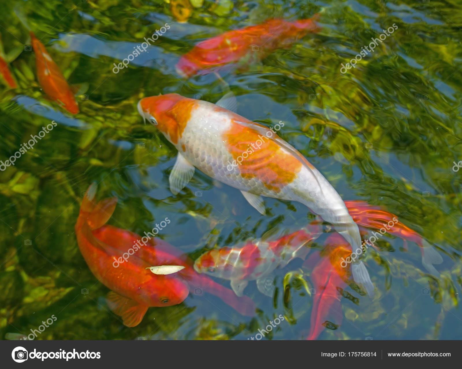 Peces tropicales de acuario foto de stock vega 240 for Comida para peces tropicales acuario