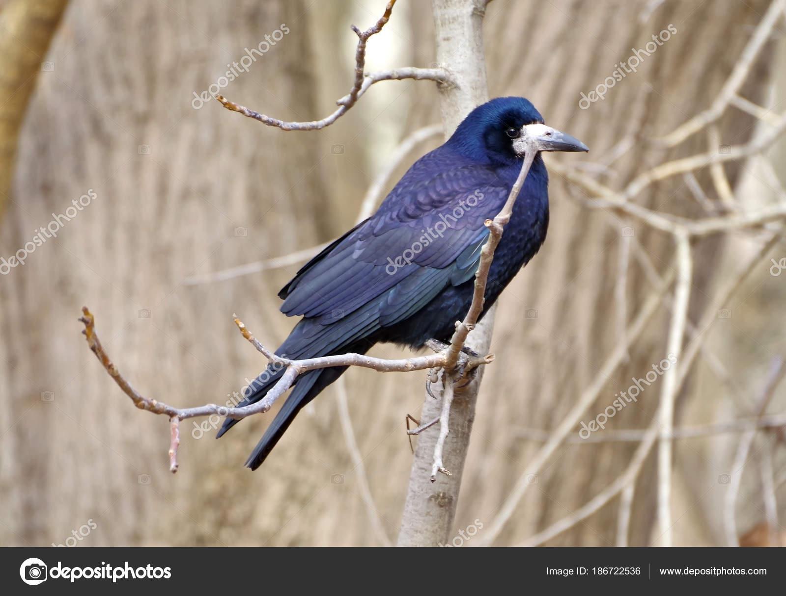 Το πρώτο μου μεγάλο μαύρο πουλί