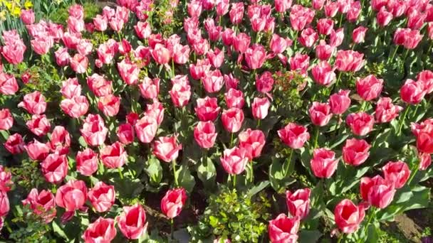 tulipánok többszínű virágágyása tavaszi virágokból