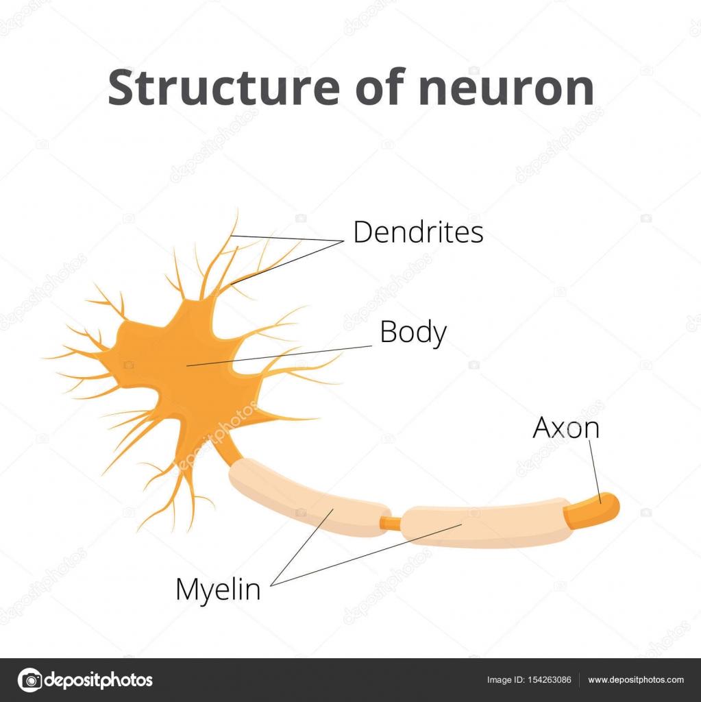 Ilustración de vector de la neurona. Estructura de la célula ...