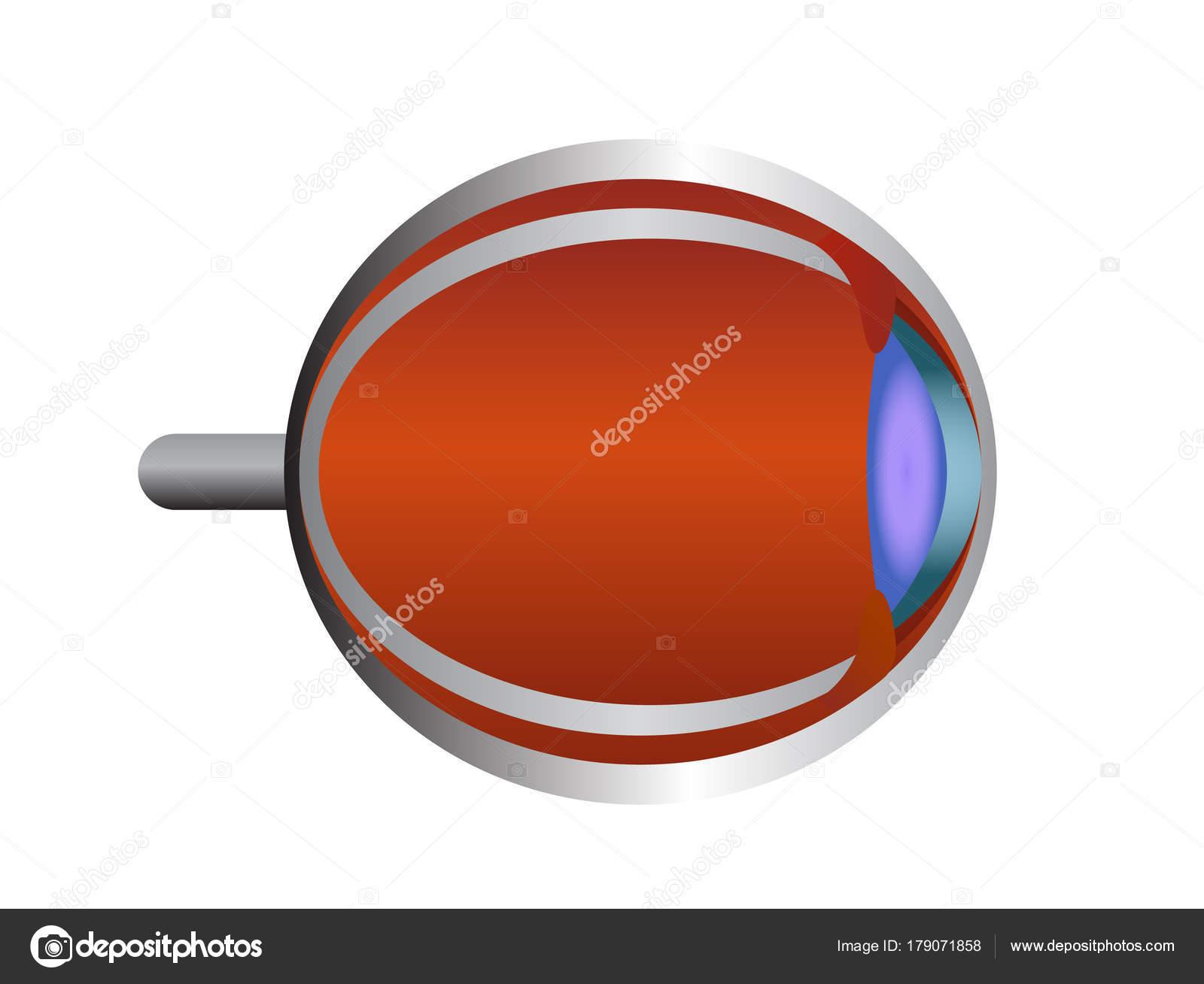 Struktur des menschlichen Auges. Auge-Anatomie-Vektor-illustration ...