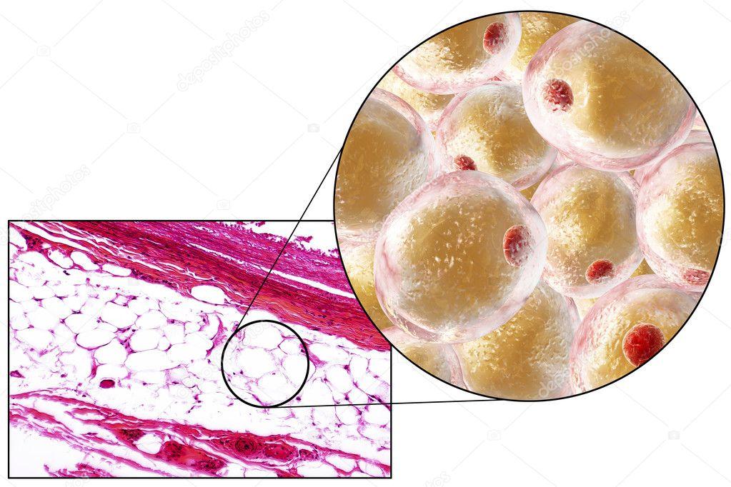Las células de grasa, micrografía e ilustración 3d — Fotos de Stock ...