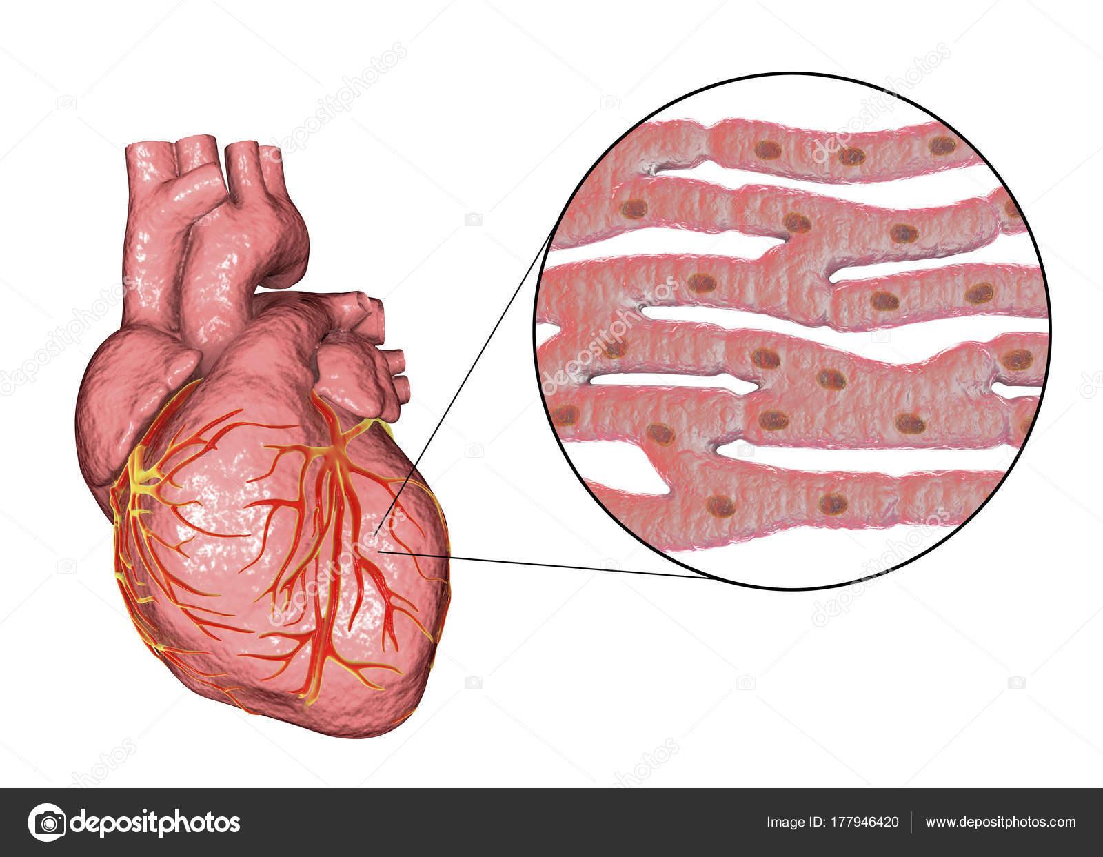 Heart muscle structure — Stock Photo © katerynakon #177946420