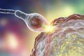 K oplodnění lidského vajíčka podle spermatozoan
