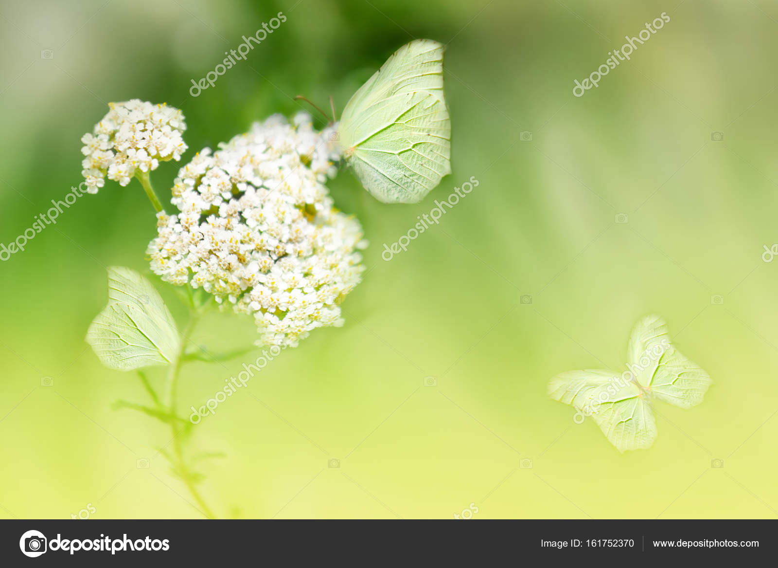Butterflies On The White Flower Against A Background Of Wild Nature