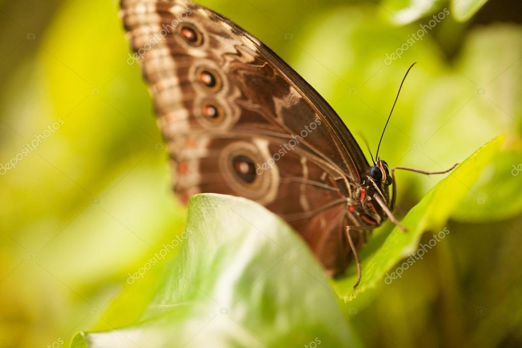 Murphy blue butterfly.