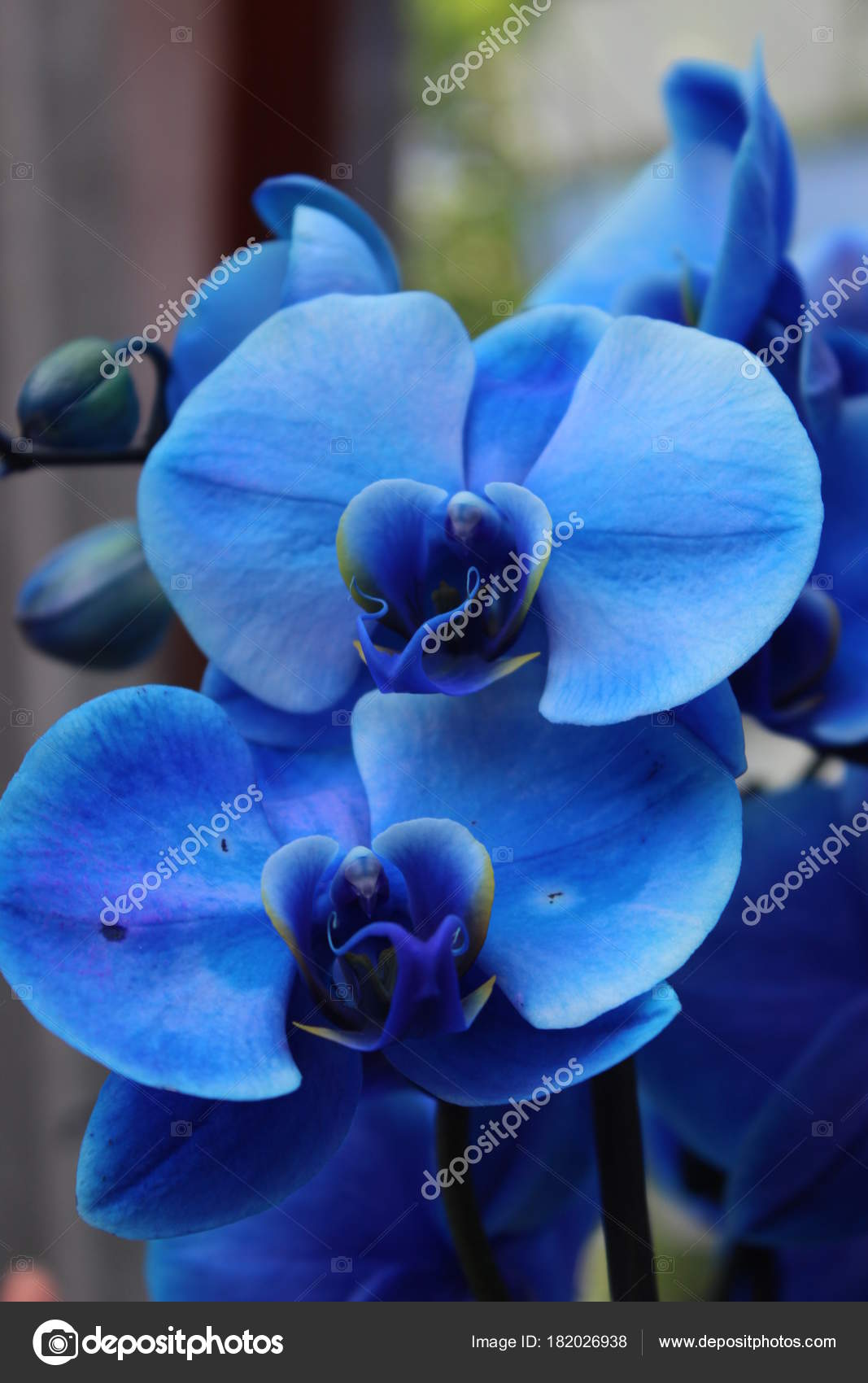 Blue Orchid Flower Stock Photo Elenahell 182026938