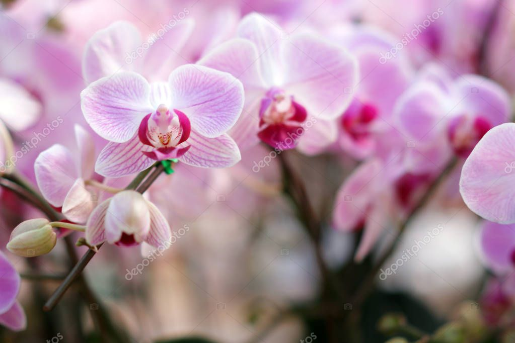 Beautiful pink orchid flowers. Spring is coming