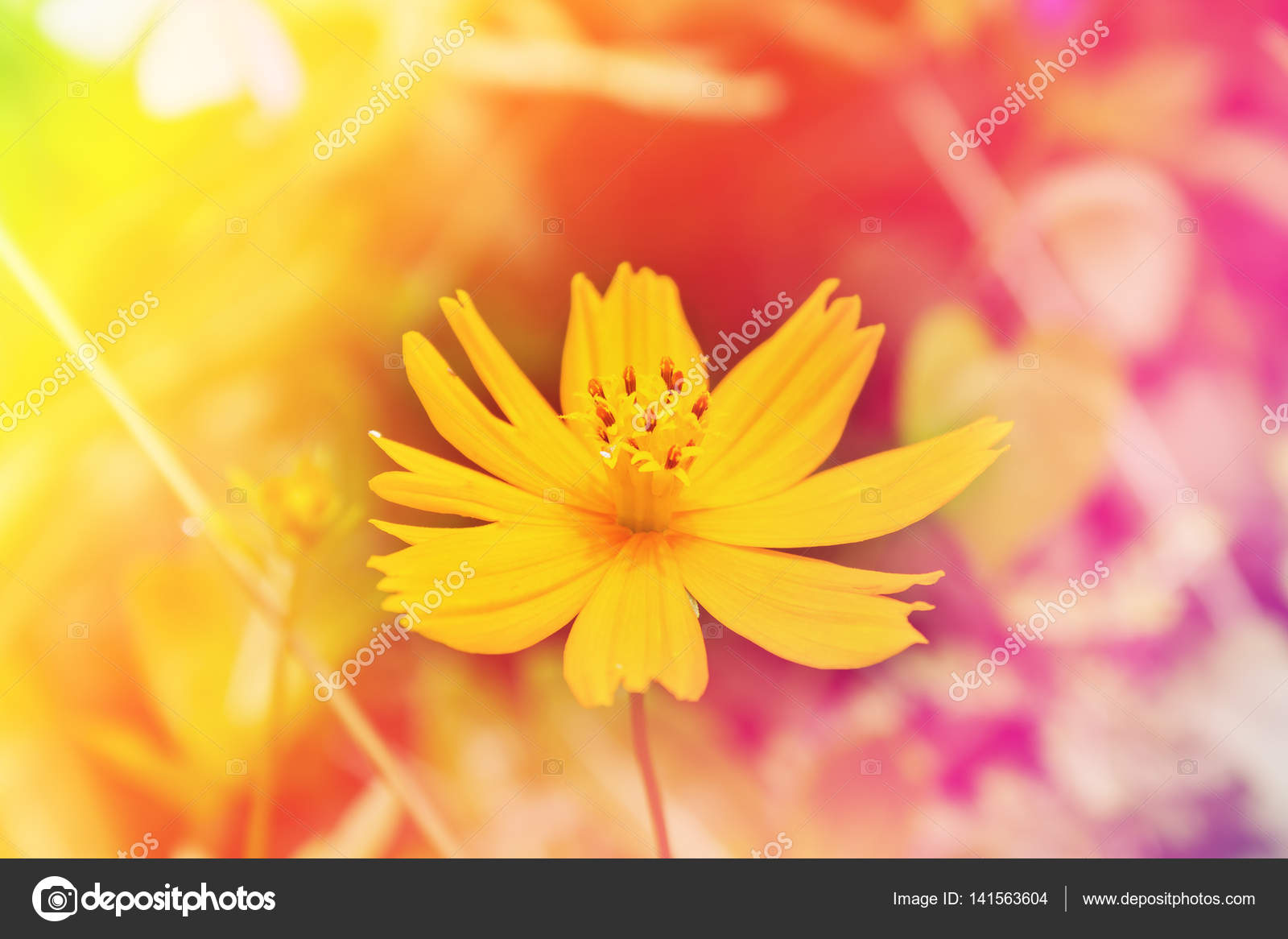 Single Cosmos Flower In Pink Yellow Colour Stock Photo